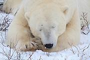 Polar Bear sleeping on the Tundra near Churchill, Manitoba.