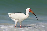 White Ibis - Eudocimus albus