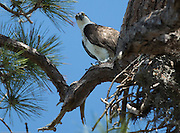Osprey perched on tree branch in Crystal Beach