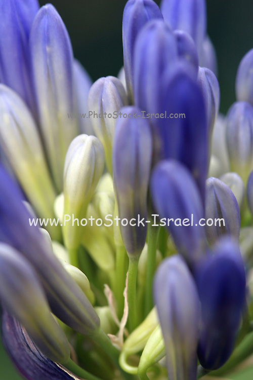 African Lily Close-up