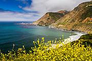 Looking toward the Big Creek Bridge, south coast Big Sur, Highway 1, California, foreground yellow mustard flowers.