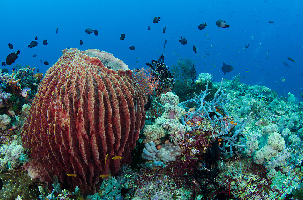 Giant Barrel Sponge (Xestospongia)<br /> Raja Ampat<br /> West Papua<br /> Indonesia