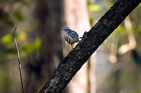 This tiny winter visitor was photographed here in the Corkscrew Swamp as it paused for a moment over the middle of a hardwood hammock.