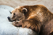 Brown Bear grizzly resting on a rock