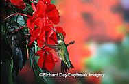 01162-05614 Ruby-Throated Hummingbird (Archilochus colubris) male on Impatiens (New Guinea Hybrid) Shelby Co. IL