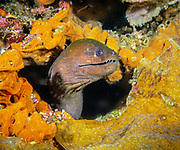 Giant Moray at Joelle's Reef, Papua New Guinea