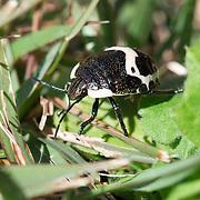 Juvenile clown stink bug (Poecilocoris lewisi) in Kobuchizawa, Yamanashi Prefecture, Japan. 小淵沢, 山梨県