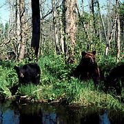 Black Bear, (Ursus americanus) Minnesota, cinnamon sow with yearling cubs along edge of creek. Spring.