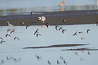 Flock of Semipalmated Plover (Charadrius semipalmatus) flying over wetland at , Crescent Beach, Nova Scotia, Canada