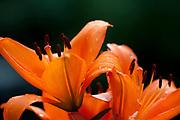 Orange Lily Flower, Lilium, Garden Kent UK,