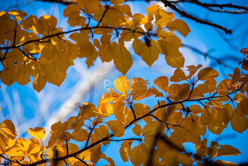 Detalles de árboles en otoño. Salvacañete. Serranía de Cuenca. Cuenca. España ©Antonio Real Hurtado / PILAR REVILLA