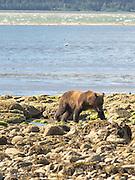 An Alaska coastal brown bear walks across the rocks on the shore of Chinitna Bay, Lake Clark National Park, Alaska.