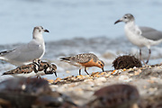 Great picture showing the size comparison of Red Knot, Ruddy Turnstone and Laughing Gull during spring migration feeding at the shoreline on Horseshoe Crab eggs.<br /> Delaware Bayshore, Slaughter Beach