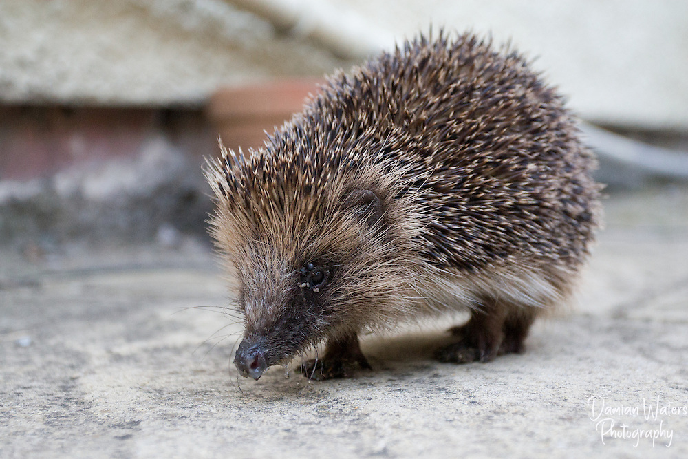Hedgehog in domestic garden, Wirral, October