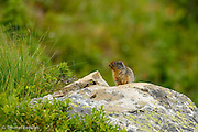 A young Columbian ground squirrel cautiously emerges from the bushes.