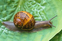 Snail on a hosta leaf