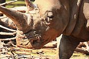 Close up of a Rhinoceros