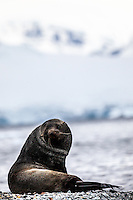 Antarctic Fur Seal at Orne Harbour, Antarctica.