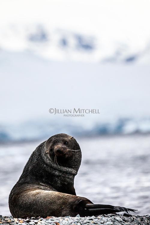 Antarctic Fur Seal at Orne Harbour, Antarctica.