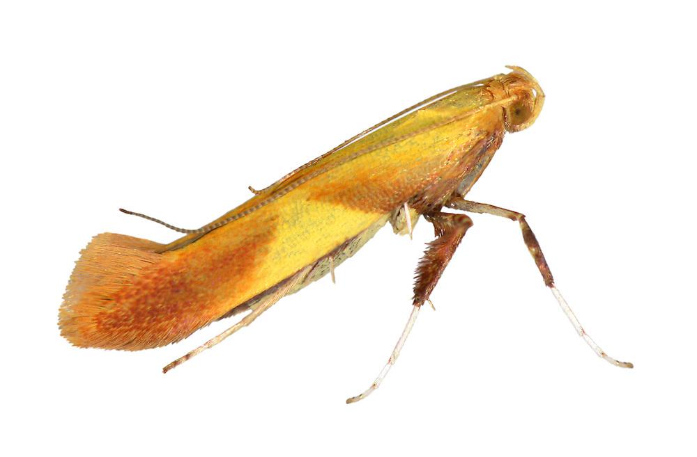 Caloptilia robustella<br /> 15.009 (0287)