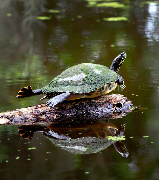 02 June 2014. Jean Lafitte National Historic Park, Louisiana.<br /> A turtle warming up on a log in the swamp at the Barataria Preserve wetlands south or New Orleans.<br /> Charlie Varley/varleypix.com