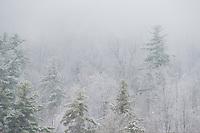 Winter trees in the fog.  ©2015 Karen Bobotas Photographer