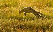 Serval cat pouncing on prey, Serengeti National Park, Tanzania.
