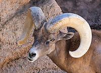 Desert Bighorn ram, Ovis canadensis nelsoni, at the Arizona-Sonora Desert Museum, near Tucson, Arizona. (Captive)