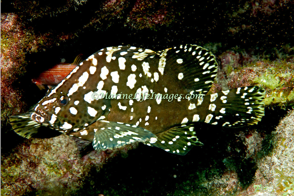 Marbled Grouper, juvenile, are rare and inhabit reefs in Tropical West Atlantic; picture taken Key Largo, FL.