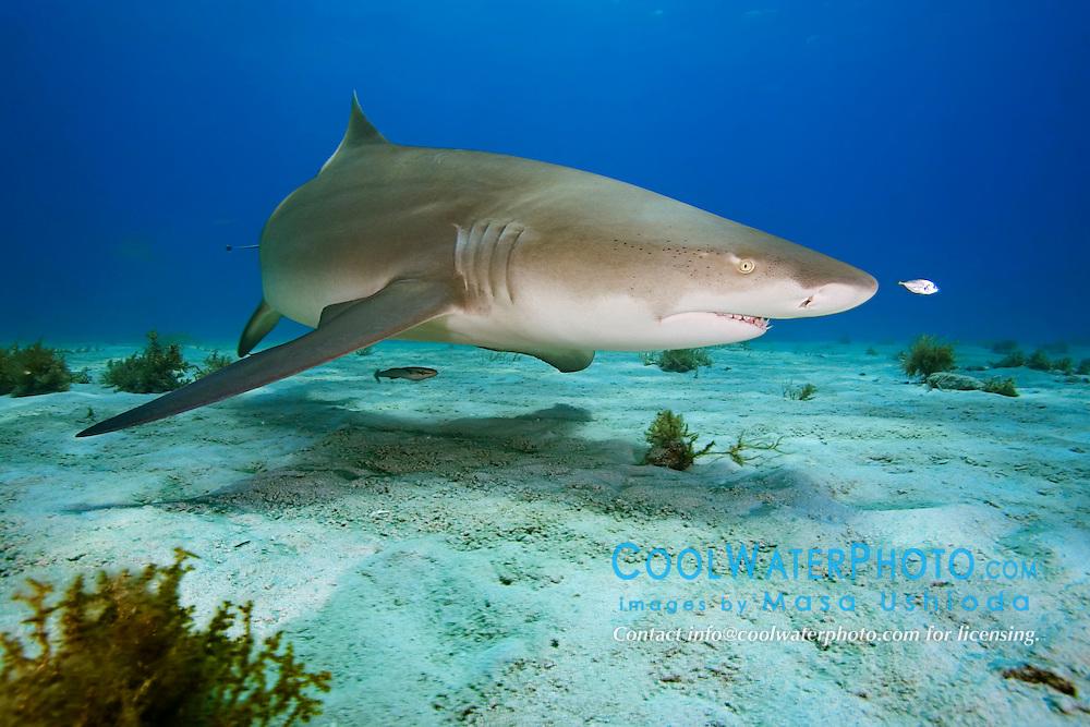 Lemon Shark, Negaprion brevirostris, with juvenile jack, Caranx sp., West End, Grand Bahama, Atlantic Ocean