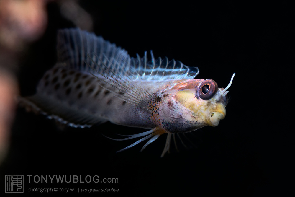 This is a male spotty goby (Laiphognathus multimaculatus) darting out from his burrow in order to send one of his babies into the water. The juvenile fish's eyes are visible inside the adult's mouth. Males of this species care for developing young. When the juveniles are ready, males collect them in their mouths, swim out at high speed and spit the fry into the water.