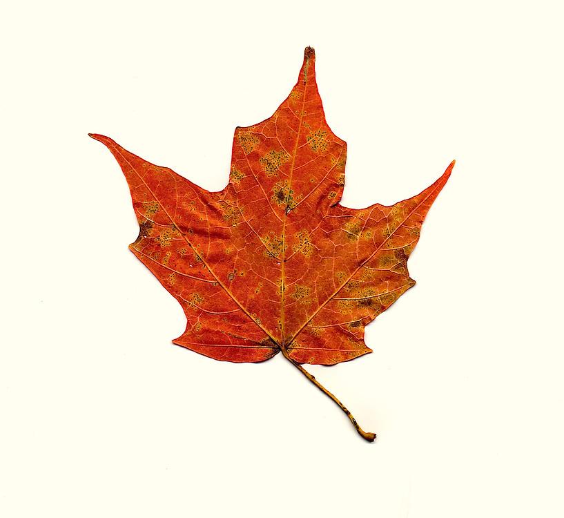 fall leaf southeastern Ohio, red maple, underside of the leaf