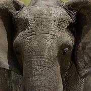 African Elephant ( Loxodanta africana) Portrait of young elephant. Masai Mara National Park. Kenya. Africa.