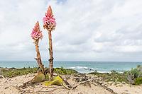 Satyrium carneum flower growing in sandy soils along the coastline, Arniston, Western Cape, South Africa