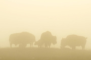 Bison females with calves in the fog on the Great Plains of Montana at American Prairie Reserve. South of Malta in Phillips County, Montana.