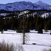Mountain Lion or Cougar, (Felis concolor) Adult crossing valley in deep snow. Bridger Mountains. Montana.  Captive Animal.