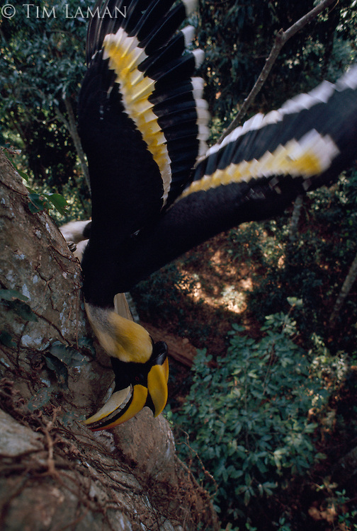 Sole provider for his confined mate and chick, a great pied hornbill in Thailand's Khao Yai National Park delivers as many as 13 fruit and insect meals each day. The female has all but walled up the nest hole to guard against preditors.