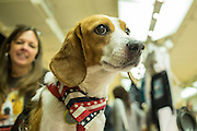 Juno the Rescued Beagle and a friend. Juno is a therapy dog, rescued from a closed testing lab.