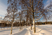 Line of trees on a snowy lane leading to Plassen Church, Trysil, Norway.