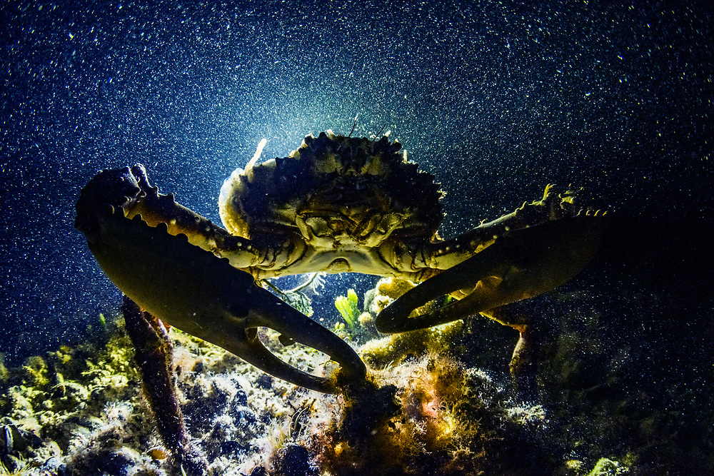 A channel clinging crab (Mithrax spinosissimus), also known as the West Indian spider crab, reef or spiny spider crab, or coral crab, backlit in an alkaline pond on Eleuthera, Bahamas.
