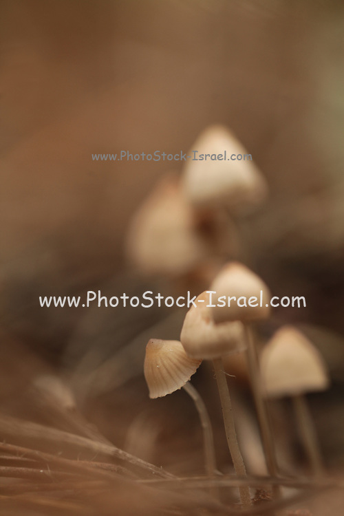 Mealy Bonnet mushrooms (Mycena cinerella) growing under pine trees. These mushrooms are the inedible fruiting bodies of this fungus and can reach 5 centimetres in height. They have gills on the undersides of the bell-shaped caps from which reproductive spores drift on the wind. Photographed in Israel in December