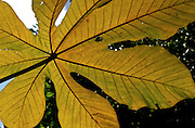 Beneath a large, dying Cecropia leaf, which is one of the common trees in Amazonia, Peru.