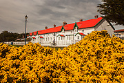 Gorse plants in flower, boy with bike in front of block of flats, Stanley, capital of Fakland Islands