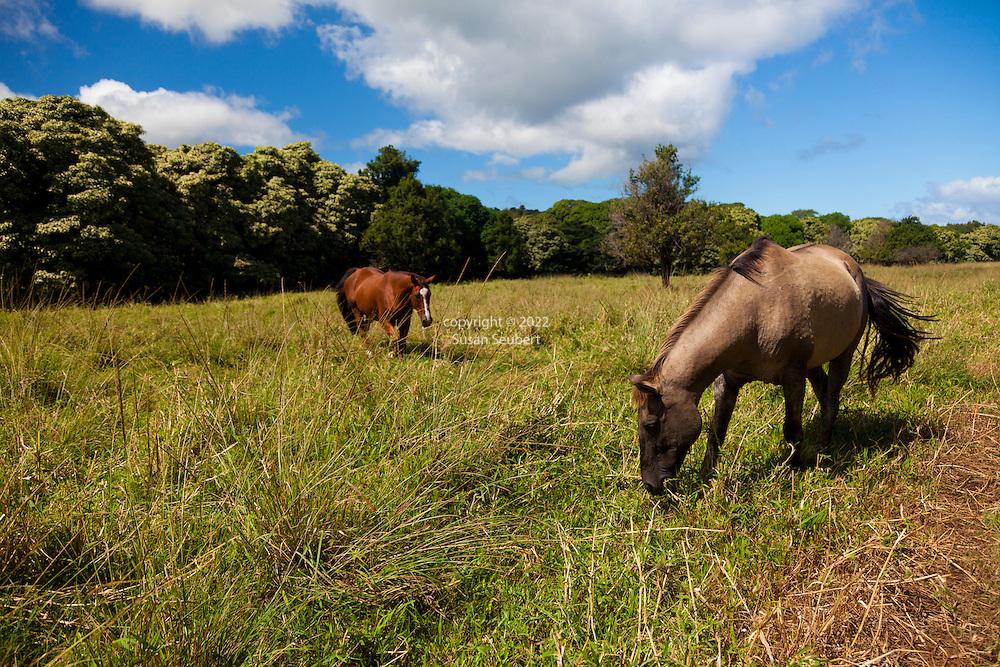 horses grazing in a field in Hana, Maui, Hawaii