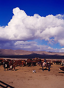 Chilean gaucho or cowboy, Loren Algcon, assisting with the weaning of calves from cows on the Espil Ranch, Smoke Creek Desert, Nevada.