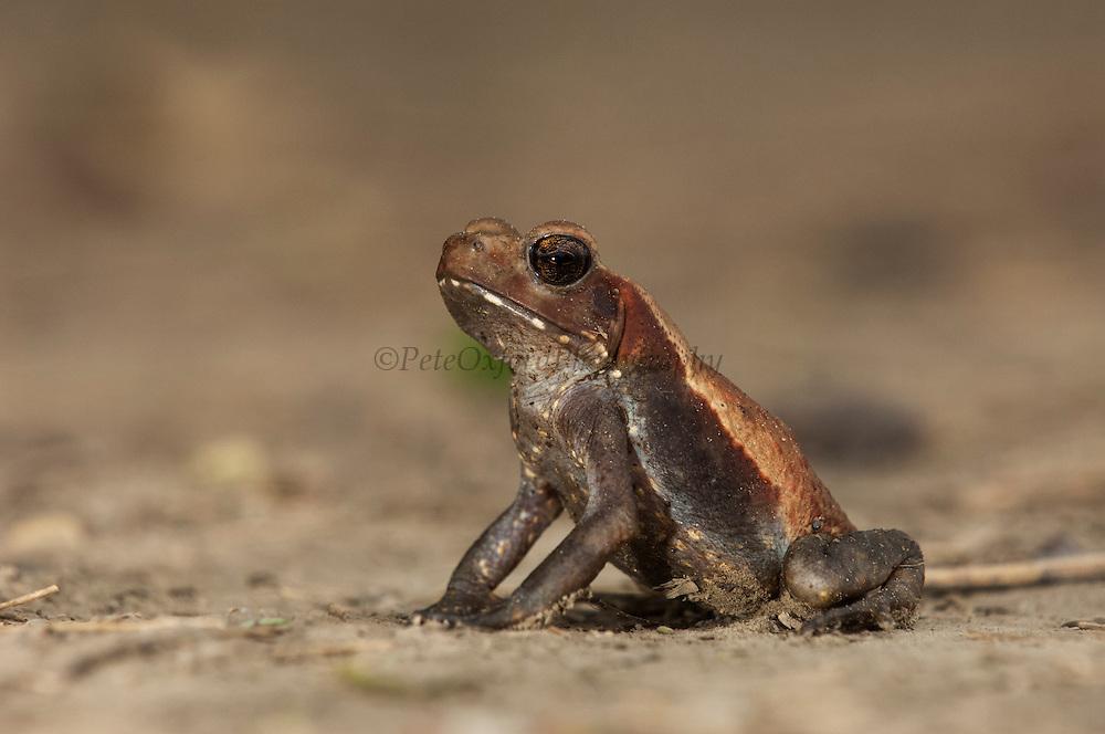 Smooth-sided Toad (Rhaebo guttatus)<br /> mid Orinoco River, 110 Km north of Puerto Ayacucho. Apure Province, VENEZUELA. South America.