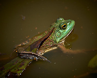 Kermit the Bullfrog in my Pond. Image taken with a Fuji X-T2 camera and 100-400 mm OIS lens.