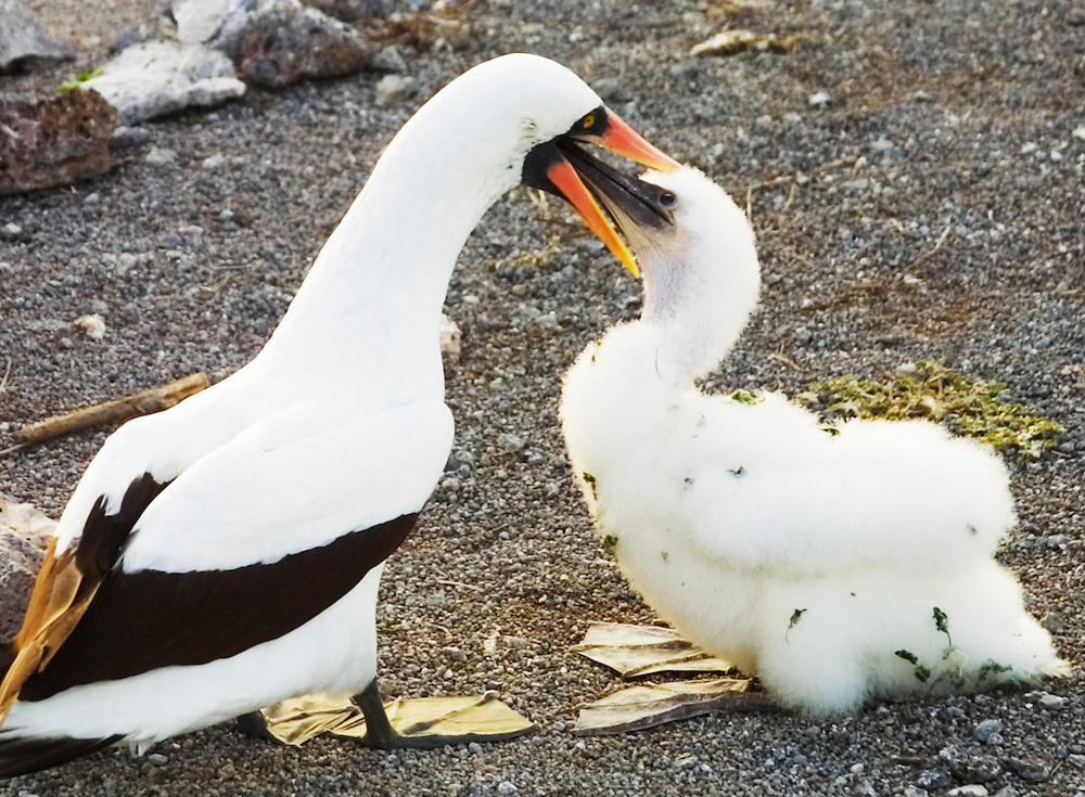 Feeding, masked boobies, Galapagos Islands