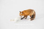 01871-02901 Red Fox (Vulpes vulpes) eating Arctic Fox (Alopex lagopus) at Cape Churchill, Wapusk National Park, Churchill, MB