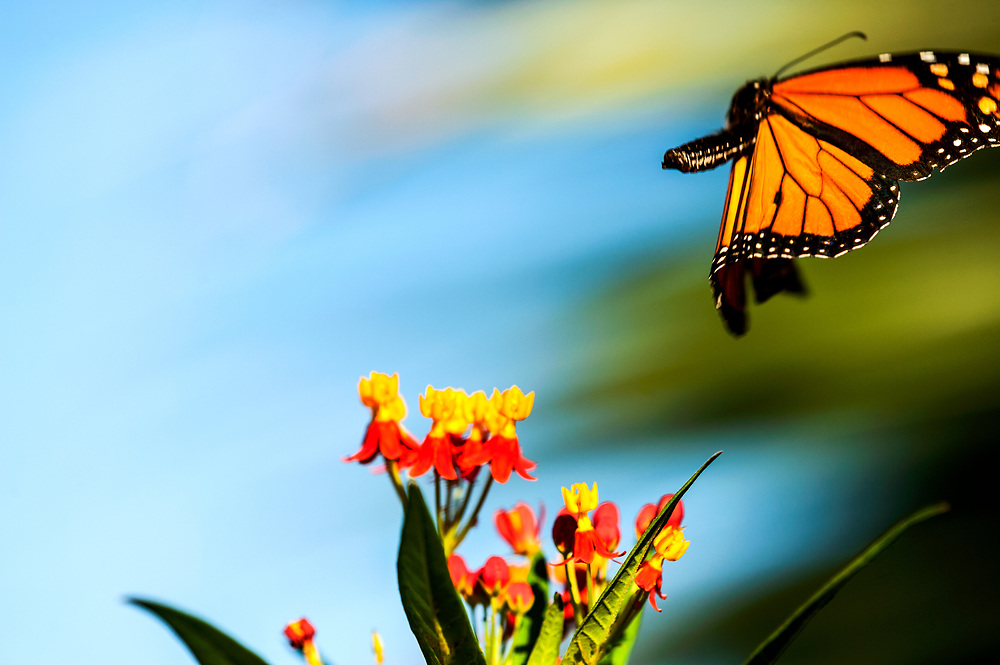 The monarch knows not where they fly or the trials that will befall them. The monarch heeds an ancient call ~ an unseen line will guide them.